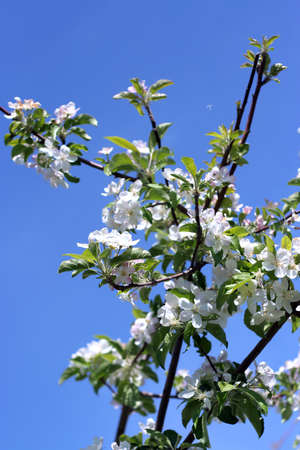 cherry tree photo