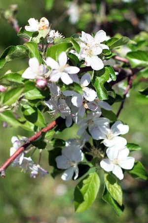 flowers on the cherry tree Stock Photo - 9606553