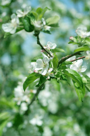 flowers on the cherry tree photo