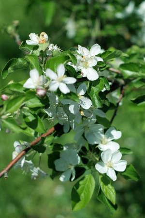 cherry tree Stock Photo - 9705635