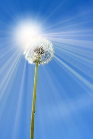 abstract scene wuth dandelion and sky as background photo