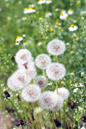kamille: flowers