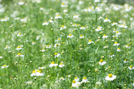 camomiles on the meadow photo