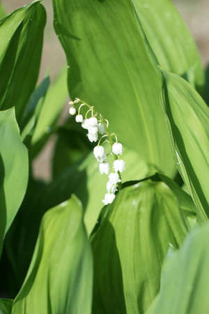 flower,lily of the valley Stock Photo - 9699067