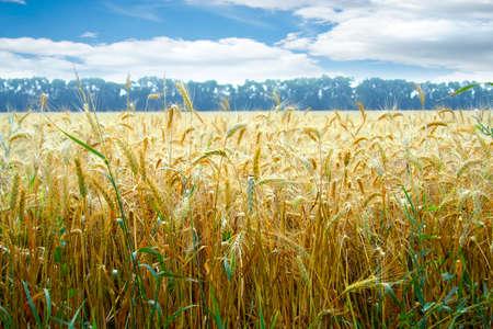 grain field  Archivio Fotografico