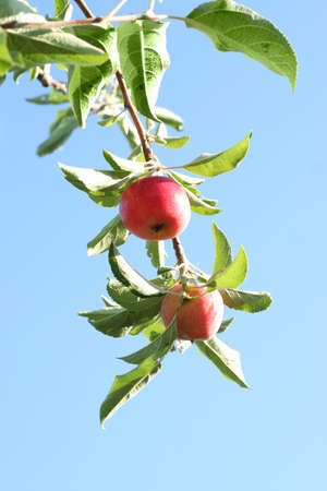 abstract scene with ripe apples on the tree  photo