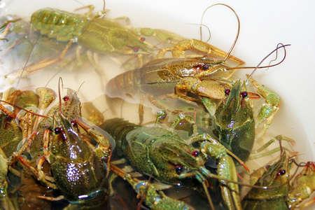 seasoned: scene river crayfish in water as illustration