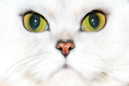 cat eye: abstract scene home pedigreed cat as animal background Stock Photo
