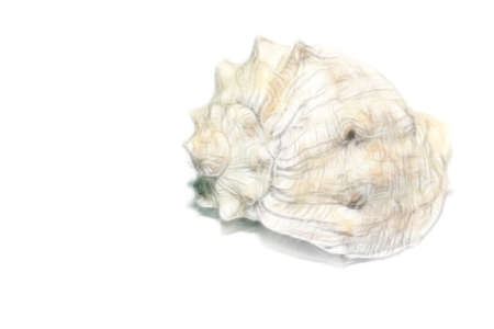 symetry: scene seashell as illustration type sea fauna