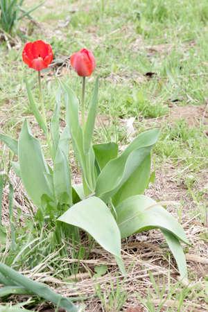 abstract scene blossom garden tulip as spring illustration Stock Illustration - 13416790