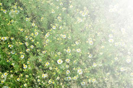 daisywheel: daisywheel on meadow as symbol spring landscape