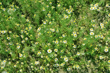 daisywheel: abstract scene daisywheel on meadow  Stock Photo