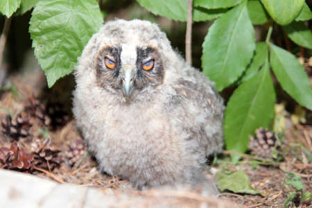 owlet: small owlet amongst timber plant  Stock Photo
