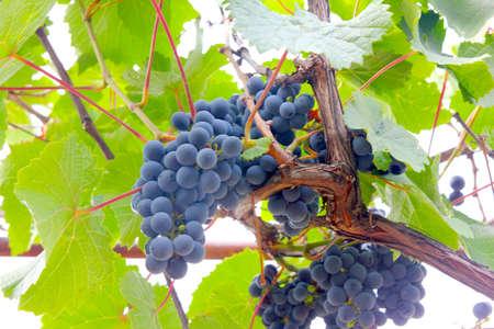 美しいシーン イラスト シーズンとして熟したブドウを収穫します。