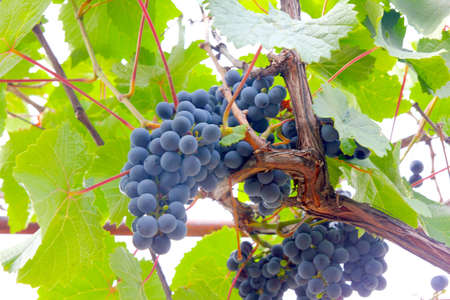 scene beautiful ripe grape as illustration season harvest