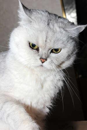 pedigreed home cat as symbol comfort Stock Photo - 16333817