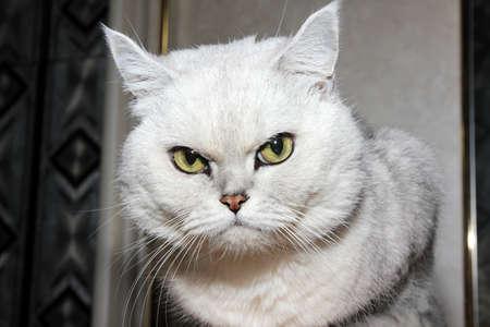 pedigreed home cat as symbol comfort Stock Photo - 16333809