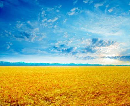 ripe wheat on the agriculture field under solar sky photo