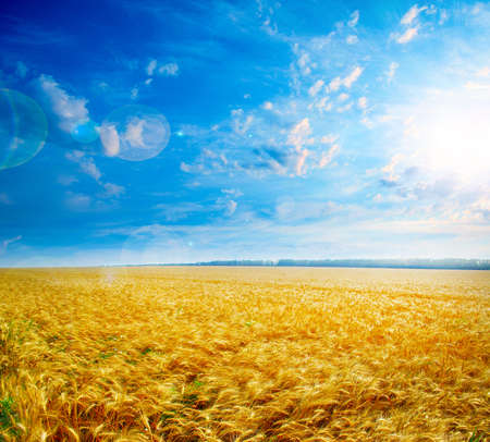 rijpe tarwe op de landbouw veld onder zonne-hemel Stockfoto