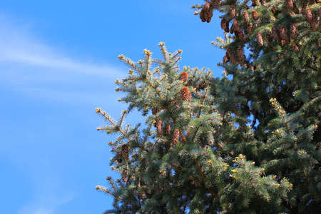 pine on background cloudless sky Stock Photo - 19727616