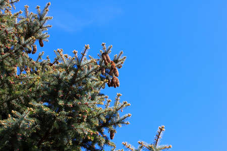 branches pine on background cloudless sky Stock Photo - 19695755
