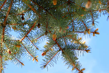 pine on background cloudless sky Stock Photo - 19727582