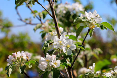 flowering tree cherry as symbol spring awakening nature photo