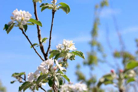 flowering tree as symbol spring awakening nature Stock Photo - 19727546