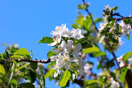 flowering tree cherry as symbol spring awakening nature photo