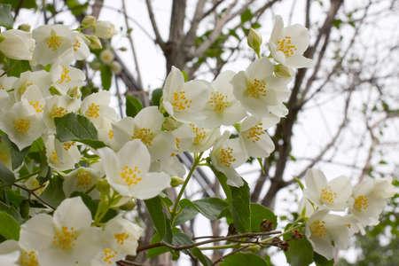 jessamine: bianco flowerses arbusti gelsomino come simbolo di primavera