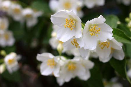 Bianco flowerses arbusti gelsomino come simbolo di primavera Archivio Fotografico - 19859891