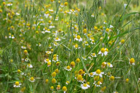 daisywheel: field daisywheel on solar meadow as symbol springtime Stock Photo