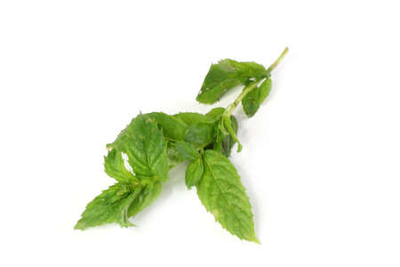 sheet and stem plant spearmint