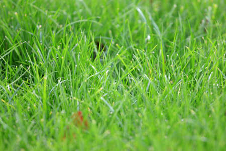 lawn area: juicy fresh sprout green herb as base lawn