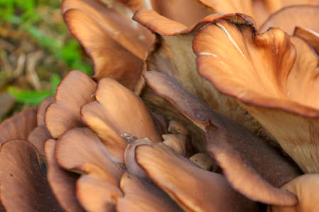 mushroom Pleurotus in the wood Stock Photo - 23207869