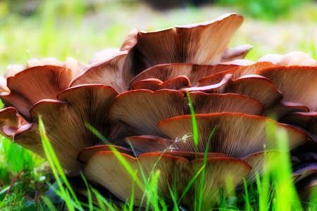 mushroom Pleurotus  Stock Photo - 23208097