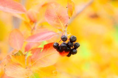 rowanberry: scene fruits ripe rowanberry on branch shrubbery