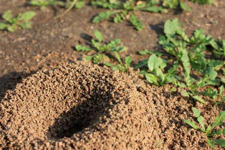 ameisenhaufen: Ameisenhaufen gebaut Holz Ameise f�r das Verhalten Einrichtungen Lizenzfreie Bilder