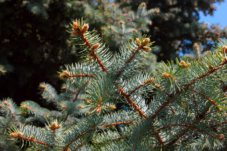pinetree: young cones and branches green tree pine-tree