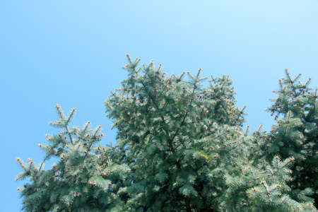 pinetree: cones and branches green tree pine-tree