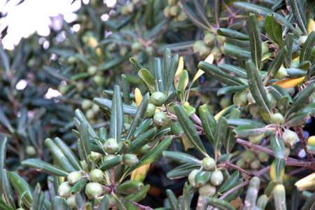 green fruits and branches of olive tree photo