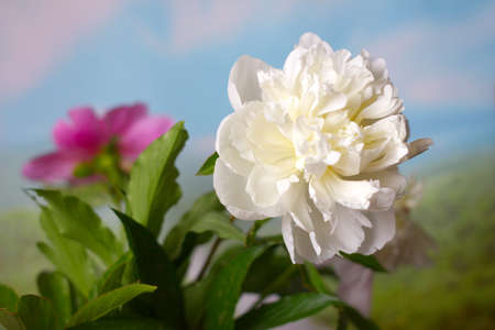 head shot: beautiful flower peony as part of a summer landscape