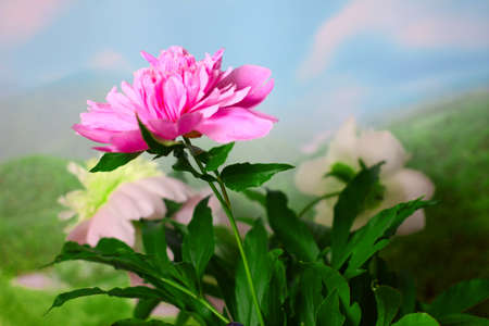 beautiful flower peony as part of a summer landscape photo