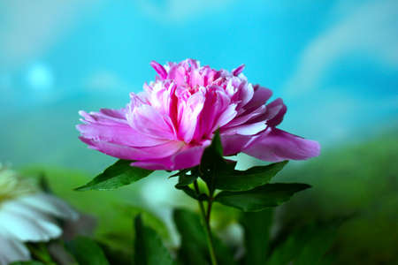candid: beautiful flower peony as part of a summer landscape