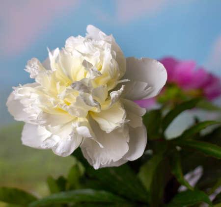pistil: beautiful flower peony as part of a summer landscape