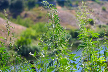 hemp: a wild trunk and stems with leaves of hemp