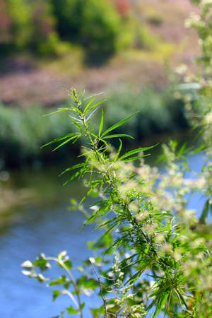 hashish: a wild trunk and stems with leaves of hemp