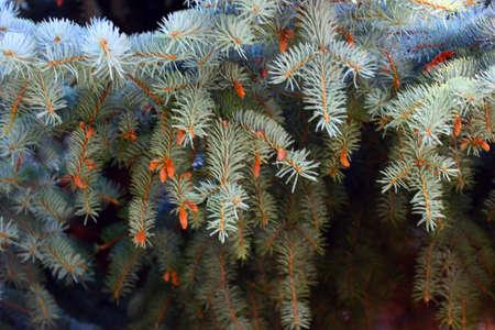 evergreen tree: fine twigs and needles of an evergreen tree fir