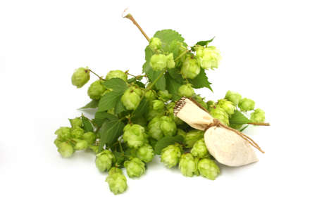 hop plant: ripe buds and leaves of wild hop plant Stock Photo