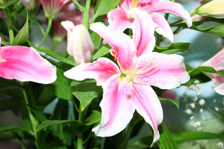 ornamental garden: beautiful pink lily flower as an ornamental garden decoration